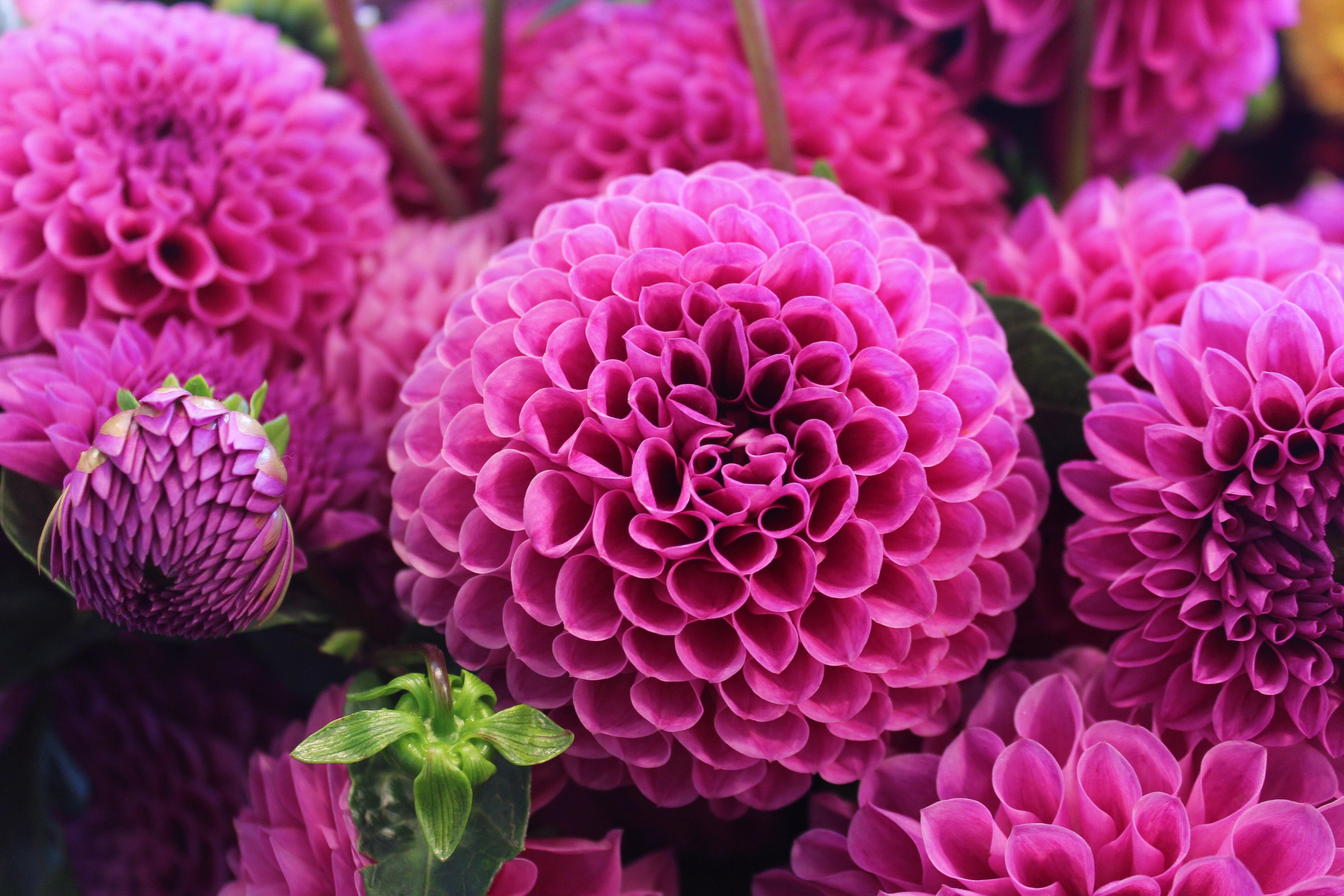 foto-kwiaty-rozowe